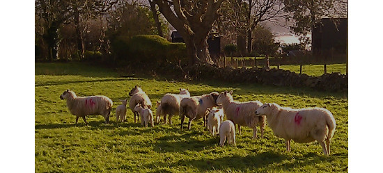 Sheep with new lambs along our lane