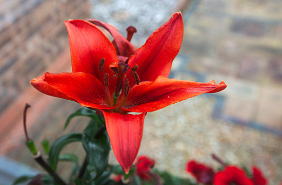 A red Lilly - by Daf