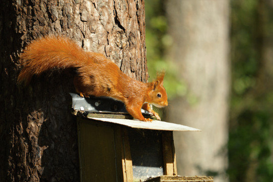 A squirrel on Anglesey by Duncan Rose