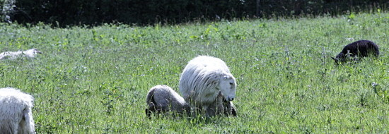 Ewe with her two lambs at Coed y Berclas