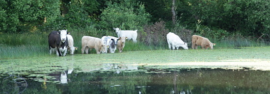 cattle in the lake munching water weed