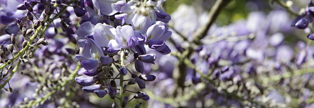 image of Wysteria