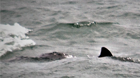 Wildlife image of porpoise off Anglesey