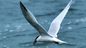 Wildlife image of a Tern off Anglesey