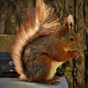 Duncan's squirrel image